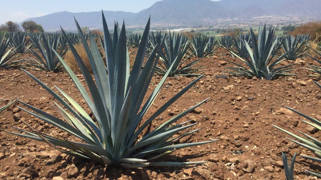 Agave-Azul-Messico-Tequila-Day-2021-Coqtail-Milano